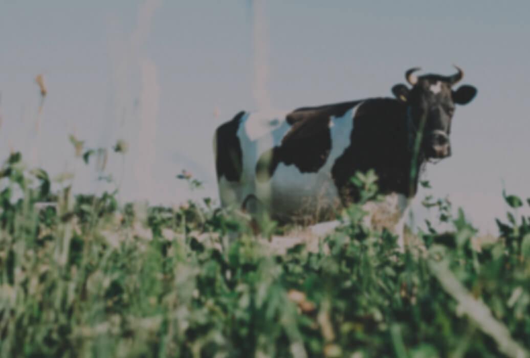 Cow standing amongst tall grass
